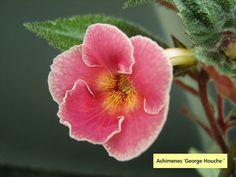 Achimenes 'George Houche ' by Serge Saliba, via Flickr
