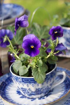 Pansies in a tea cup! Pretty!