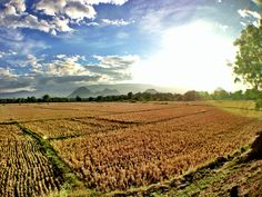Rice Field in Pangasinan. #OlloclipPH #widelens