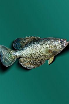 11 Best Catching Redfish Images Gone Fishing Sea Angling Goldfish