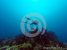 A scuba diver is diving around black coral