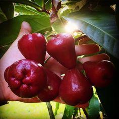 16 Best Wax Jambu images in 2016 | Apple roses, Exotic fruit