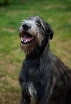 Scottish Deerhound, Irish Wolfhounds, Animals And Pets, Cute Animals, Losing A Dog, Gentle Giant, Big Dogs, Girls Best Friend, Puppy Love