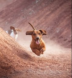 Dachshund (Germany) -- the dog that can fly! Baby Dogs, Pet Dogs, Dog Cat, Doggies, Labrador Dogs, Animals And Pets, Cute Animals, Scruffy Dogs, Dachshund Love