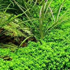 Hemianthus callitrichoides live aquarium plant. This is also known as H.C.