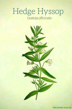 Hedge Hyssop (Gratiola officinalis)