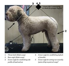 Grooming 101: Lag Roms are a double coated non–shedding breed. They have a heavy wool coat and should not be blown out. They should not carry a lot of coat as pets or show dogs. They should not carry more than an inch and a half of hair.