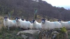 Donna MacKenzie @DONZ173 #sheepoftheweek https://twitter.com/DONZ173