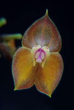 Miniature-orchid / Micro-orquidea: Lepanthes wendlandii - Orange-form