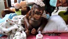"""""""O GRITO DO BICHO"""": Orangotango bebê que vivia dentro de uma pequena g... #ogritodobicho #falabicho"""