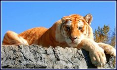 Golden Tabby/Strawberry Tiger