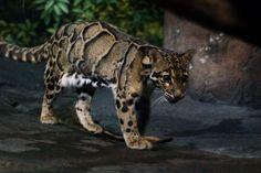Clouded leopard - Wikipedia