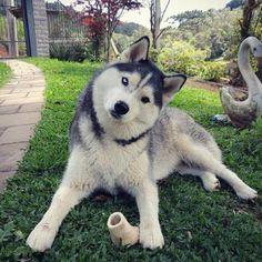 Husky life Husky life Life with a Siberian husky Husky Malamute, Husky Puppy, Cute Dogs Images, Cute Dog Pictures, Cute Puppies, Dogs And Puppies, Mountain Dog Breeds, Wolf Husky, Snow Dogs