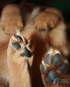 Golden paws #golden #goldenretriever #dog