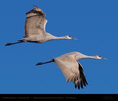 SandhillCrane_FlightStudy_HS6295-96M.jpg 1,500×1,290 pixels
