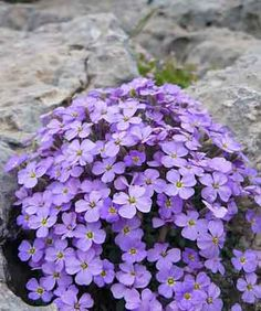 Purple Rock Cress - Aubrieta