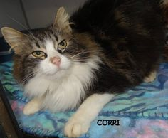 ADOPTED! Tag# 8536 Name is Corri  Tabby/White  Female-unsure of spay  Talker! Loves attention!   Located at 2396 W Genesee Street, Lapeer, Mi. For more information, please call 810-667-0236 Adoption hours are  M-F 9:30-12, 12:30-4:30, except Wednesday-closed at noon and open Saturday 9-2  https://www.facebook.com/267166810020812/photos/a.820048901399264.1073742140.267166810020812/820049368065884/?type=3&theater