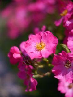 Wild rose (Rosa wintoniensis)