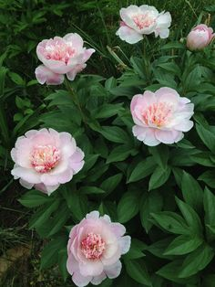 'Do Tell ' peonies in my garden.