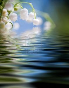 Lily of the valley with water reflection Stock Photo