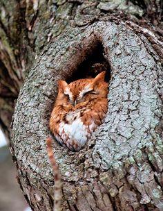 Tree nap owl spot