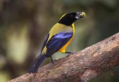 Black-chinned Mountain-Tanager (Anisognathus notabilis) in Ecuador by Sam Woods.