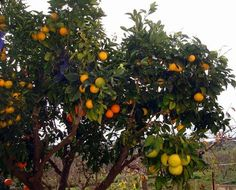 A grafted citrus tree with six different fruits.