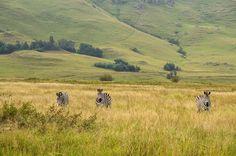 [Afrique du Sud] Marcher au milieu des zèbres... Et pouvoir s'approcher ! Un rêve de petite fille qui se réalise. #sanivalleylodge #drakensberg #southerndrakensberg #igerssouthafrica #visitsouthafrica #southafrica #thisissouthafrica #southafricathroughmyeyes #afriquedusud #kwazulunatal #africa #afrique #wildlife #zebra #mountainzebra #naturelovers #naturephotography #travelphotography #travel #familytravel #travelgram #instatravel #defi365 #picoftheday #photodujour #canon #canonphoto