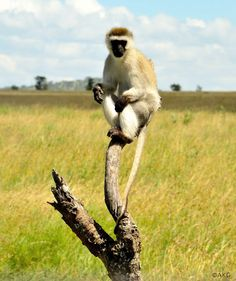 """A curious vervet monkey perches in a tree. From the photo essay """"Being in the Serengeti"""" #africa #safari #kenya"""