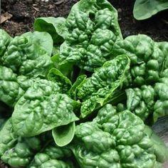 SPENAT 'Bloomsdale Long Standing' i gruppen Grönsaksväxter / Bladgrönsaker / Spenat hos Impecta Fröhandel (9627)