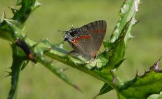 Red-banded hairstreak butterfly Photo by Melissa Ferguson -- National Geographic Your Shot