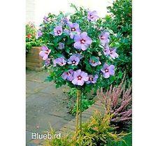 Image result for bluebird rose of sharon