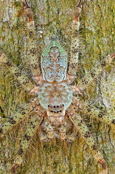 Lichen Huntsman Spider by Yan Leong