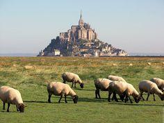 Les moutons de pré salé (saltmeadow sheep) devant Mont St. Michel, Normandy