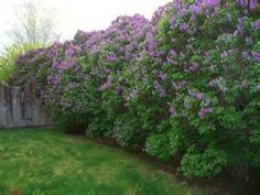 english lilacs bush