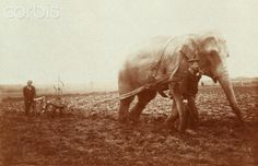 World War I A field ploughing with an elephant of a Belgium zoo commandeered by the German army (Belgium). Ca. 1915.