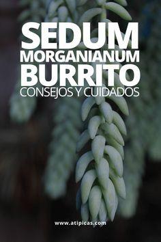 """Sedum morganianum """"burrito"""": consejos y cuidados Burritos, Echeveria, Cactus Y Suculentas, Plants, Ideas, Gardens, Hanging Succulents, Watering Plants, Edible Garden"""