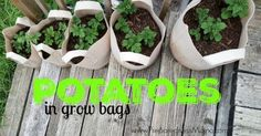 Try your hand at growing potatoes in grow bags. Easy to control the soil and…