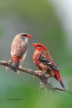 Strawberry Finch, Red Munia or Red Avadavats birds - Beautiful pair in the mood.