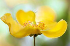 Hypericum   Flickr - Photo Sharing!