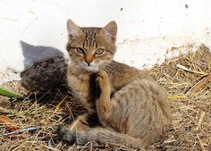 Pulci del gatto