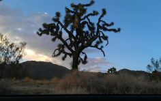 A Joshua Tree in our lovely town of Joshua Tree, Ca