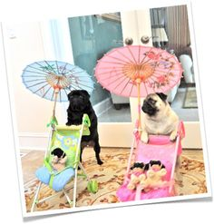 Just a pair of Pugs pushing their Puglets around in a pram! Adorable!!