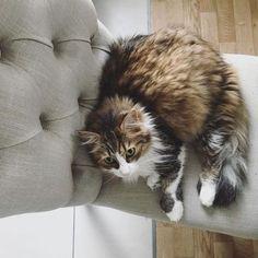 Trop cosy les nouvelles chaisesvite adoptées ! #monprecieux #chezmoi #catsofinstagram #mydecocrush https://ift.tt/2Hl36NM
