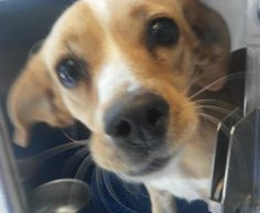 TO BE DESTROYED 12/17/16* 34037314 located in El Paso, TX has 2 days Left to Live. Adopt him now!