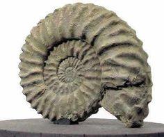 ammonites - Cerca con Google