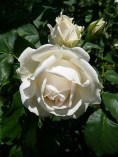 Rose 'Paloma Blanca' at Adsworthy Garden Beautiful Roses, Pretty Flowers, Beautiful Gardens, White Flowers, Best Roses, Rose Flower Wallpaper, Types Of Roses, White Gardens, Good Morning Flowers