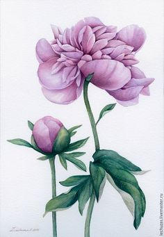 Dusty rose Peonies. Traditional art ( watercolor). Prof. paper: Fonteney 300 g/м2 (cotton). Svetlana Markina (LechuzaS) Size: 18cm*26cm