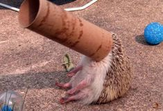 Hedgehogs know no adversity.   16 Reasons Hedgehogs Are Better Than Politicians