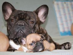 Sleepy Mother & Baby French Bulldog.